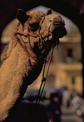 Travel Pics Royalty-Free and Rights-Managed Images - Camel in India by Travel Pics