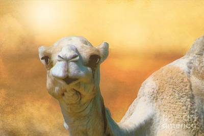 Photograph - Camel In The Desert by Janette Boyd