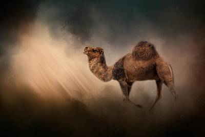 Camel In The Spotlight Art Print