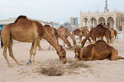 Photograph - Camel Lineup by Paul Cowan