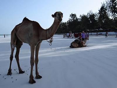 Camel On Beach Kenya Wedding 6 Art Print