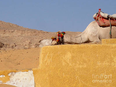 Photograph - Camel by Richard Deurer