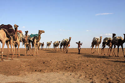 Photograph - Camel Salt Train by Aidan Moran