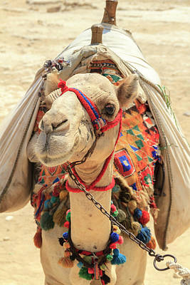 Art Print featuring the photograph Camel by Silvia Bruno
