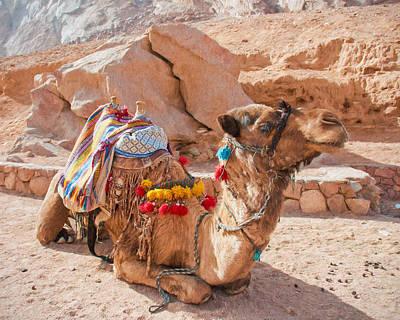 Dromedary Digital Art - Camel Taxi 2 by Roy Pedersen