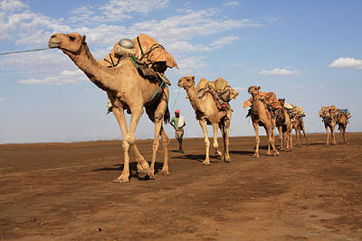 Photograph - Camel Train by Aidan Moran