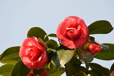 Photograph - Camelia Duo by Maria Urso
