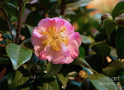 Photograph - Camelia In Bloom by Kevin McCarthy