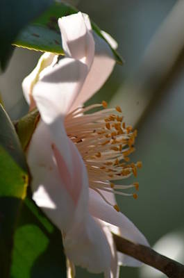 Photograph - Camelia In The Shadows by Maria Urso