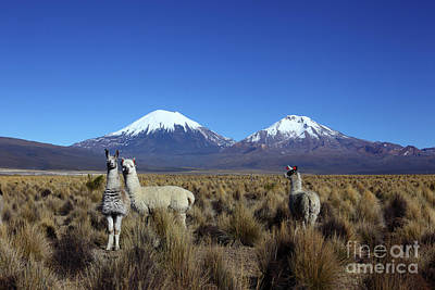 Camelids And The Payachatas Volcanos Bolivia Art Print by James Brunker