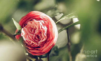 Photograph - Camellia 3 by Andrea Anderegg