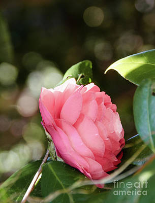 Photograph - Camellia 4 by Andrea Anderegg