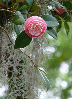 Camellia And Moss Print by Jeanne  Woods