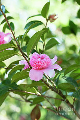 Photograph - Camellia Ballet Queen by Tim Gainey