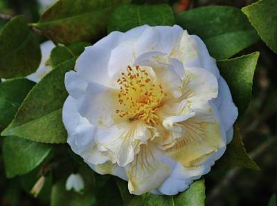 Photograph - Camellia Bloom by Cynthia Guinn