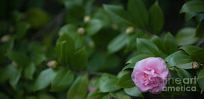 Photograph - Camellia Blooming In December by Dale Powell