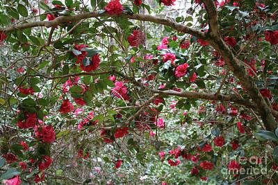 Camellia Photograph - Camellia Branches by Carol Groenen