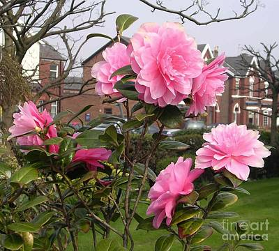 Photograph - Camellia Bush In The Village by Joan-Violet Stretch
