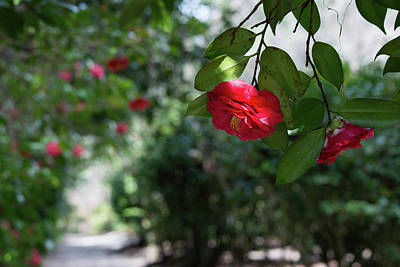 Photograph - Camellia Canopy by Ed Waldrop