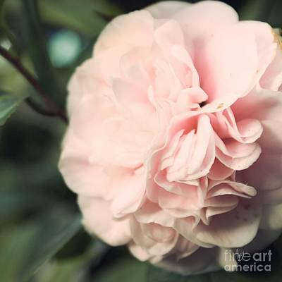 Camellia Photograph - Camellia by Cindy Garber Iverson