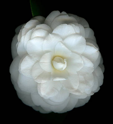 Camellia Cream Art Print by Marsha Tudor