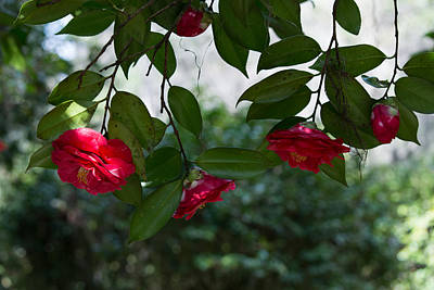 Photograph - Camellia Curtain by Ed Waldrop