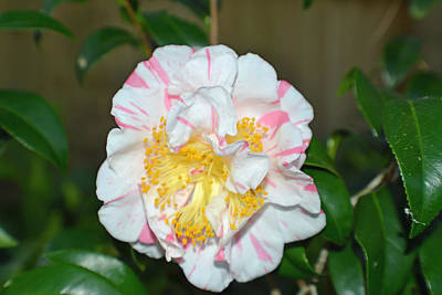 Photograph - Camellia Floral by Aimee L Maher Photography and Art Visit ALMGallerydotcom