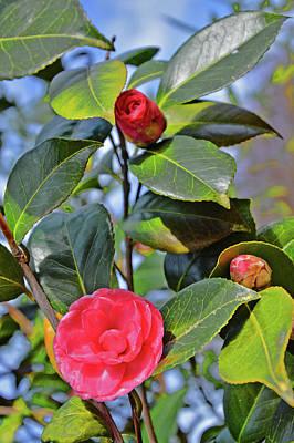 Camellia Japonica. Original