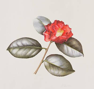 Camellia Japonica Art Print
