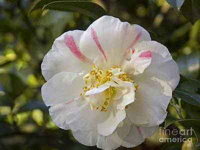 Camellia Original