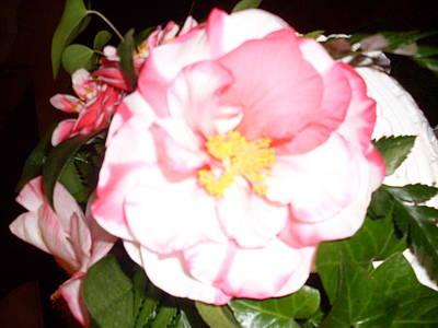 Camellia Light Original