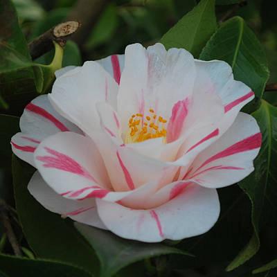 Camellia Art Print by Linda Sramek