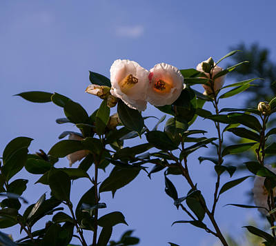 Rose Photograph - Camellia On The Branch by Zina Stromberg
