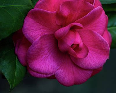 Camellia Passion Art Print