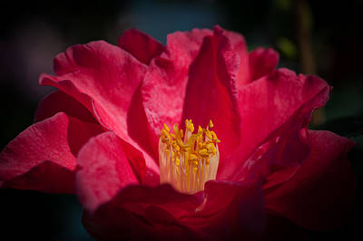 Camellia Photograph - Camellia Red by Catherine Lau