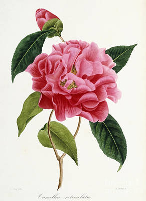 Lush Drawing - Camellia Reticulata by French School