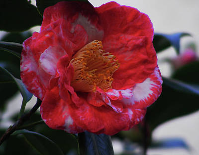 Camellia Photograph - Camellia by Wilma Stout