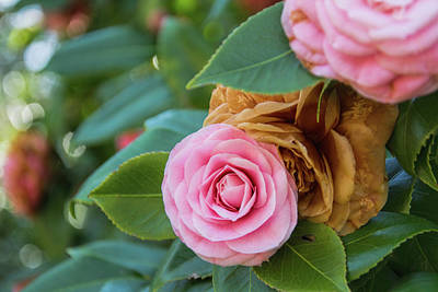 Photograph - Camellias by Ed Waldrop