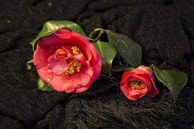 Photograph - Camellias On Black Lace by Kay Brewer
