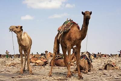 Camels Of The Afar  Art Print