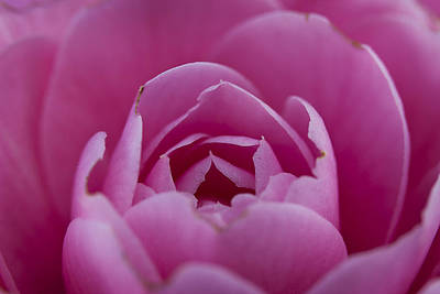 Photograph - Camellia Close-up by Morgan Wright