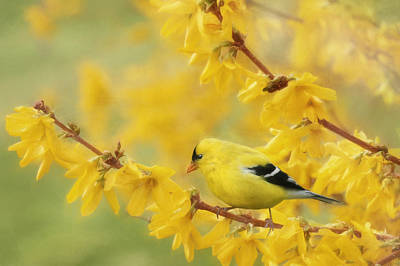 Forsythia Photograph - Camofinch by Lori Deiter