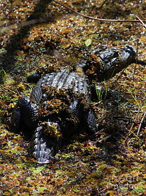 Florida Gators Photograph - Camouflage by Carol Groenen