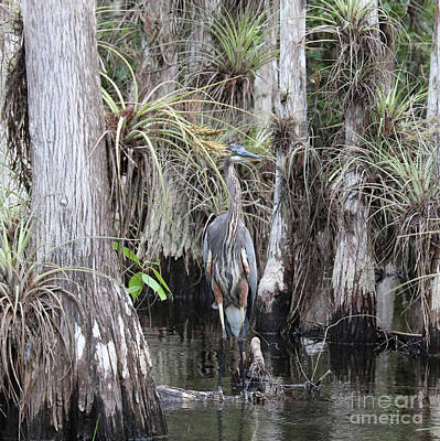 Photograph - Camouflaged Heron In Cypress Swamp by Carol Groenen