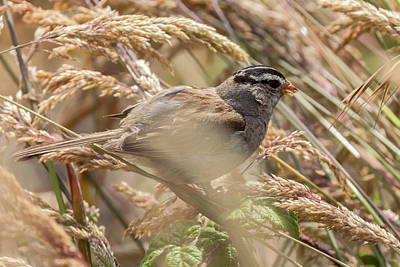 Photograph - Camouflage Sparrow 2 by Jonathan Nguyen