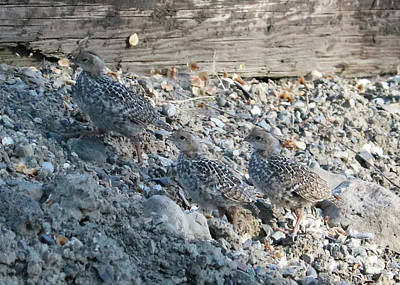 Photograph - Camouflaged Baby Quail by Carol Groenen