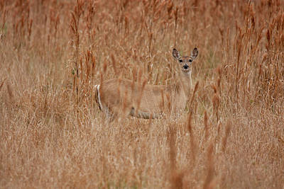 Photograph - Camouflaged Deer In Field  by Sandy Swanson