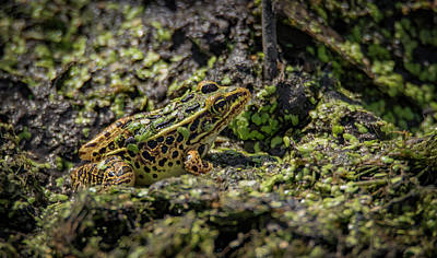Photograph - Camouflaged Frog  by Ray Congrove