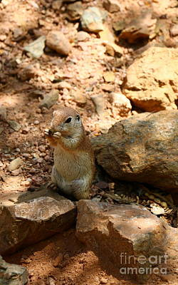 Round-tailed Ground Squirrel Photograph - Camouflaged Ground Squirrel by Christiane Schulze Art And Photography