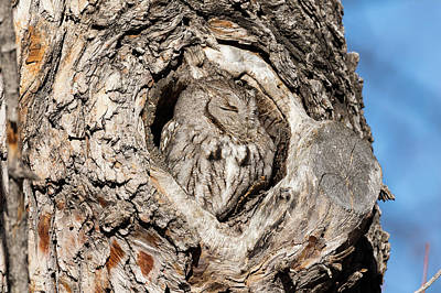 Photograph - Camouflaged Screech Owl Sleeps In by Tony Hake